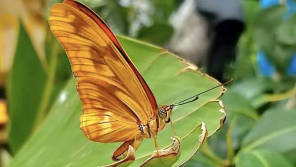 """La Casa delle Farfalle raggiunge """"quota 1000"""": l'ultima nata si chiama Heliconia """"La Casa delle Farfalle raggiunge """"quota 1000"""": l'ultima nata si chiama Heliconia"""